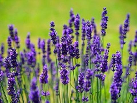 Lavendel bij migraine